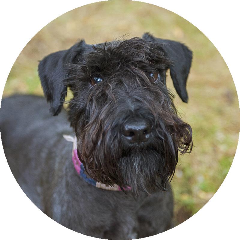 Nala the Cesky Terrier