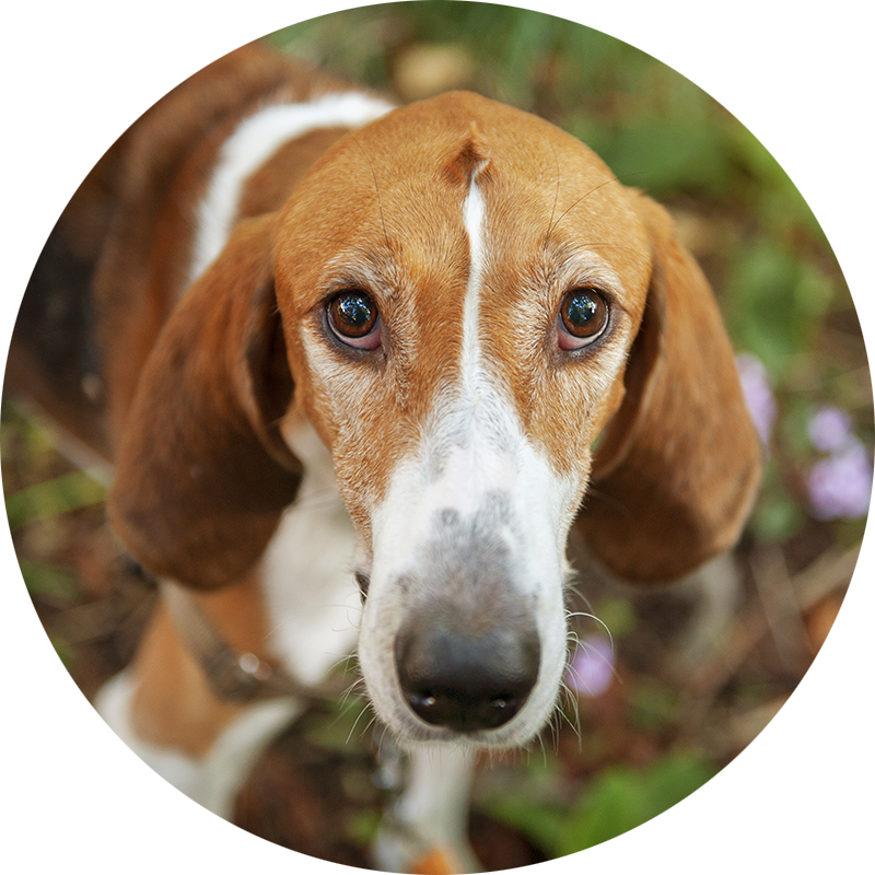 Lupin the American Foxhound