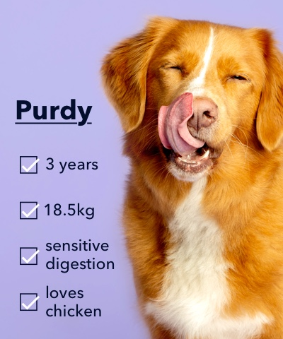 A picture of a dog called Purdy licking it's lips.