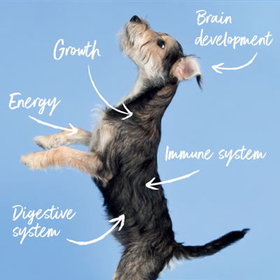 An image of one of Tails.com staff dogs called Bear as a puppy. Annotated with the core areas Tails.com food can help a growing puppy. For example, growth, brain development, energy, immune system and digestive system.