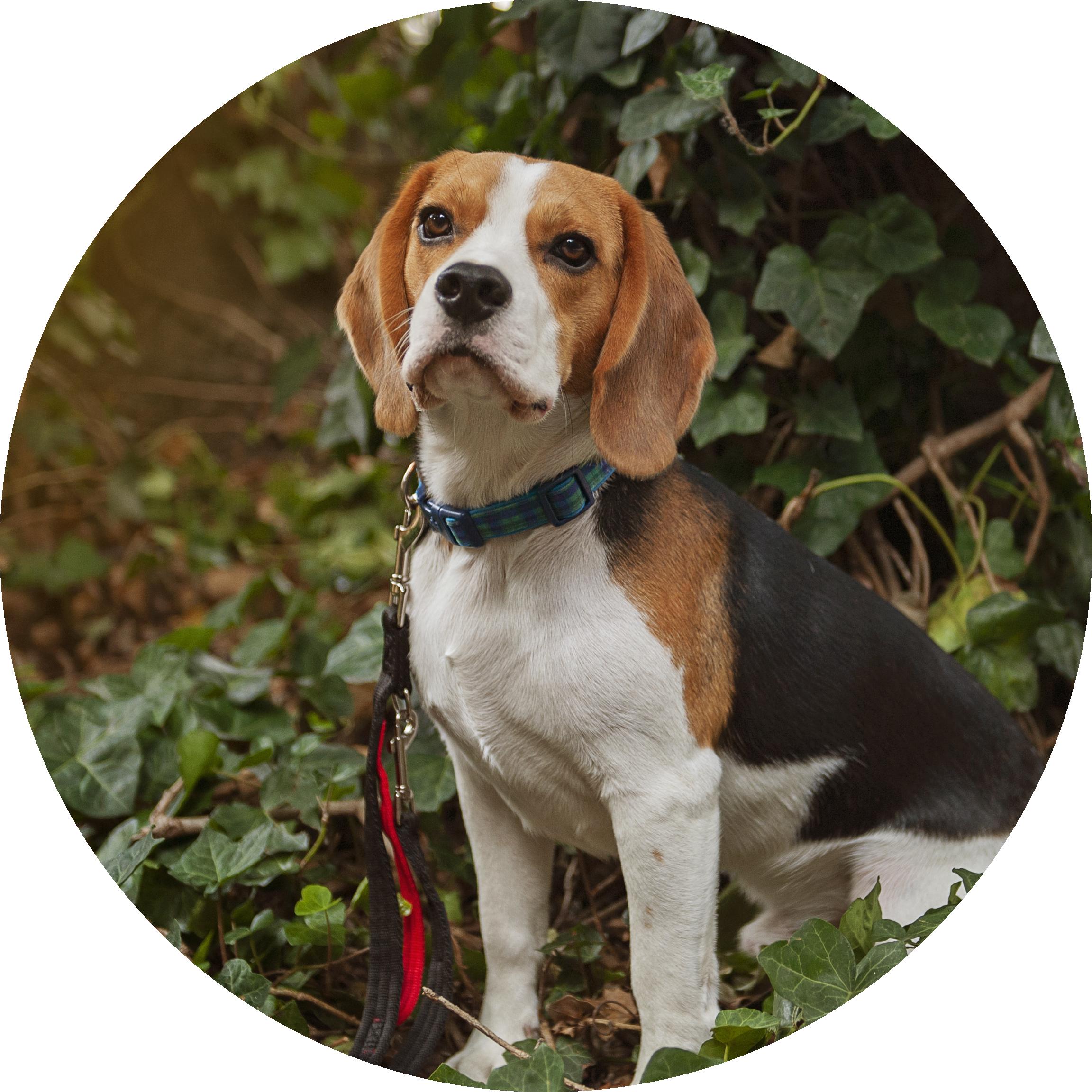 Balloo the beagle